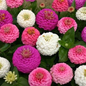 Sample Pack Of Zinnia Seeds From Blooming Secrets